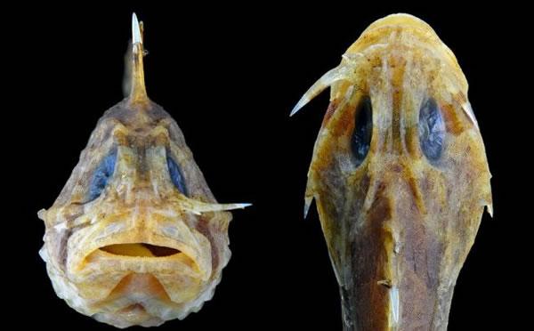 El pez piedra, el ser más venenoso y con navajas en la cara